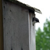 Our new home, says the barn swallow mama.<br /> <br /> Photographer's Name: J.R. Rosencrans<br /> Photographer's City and State: Alexandria, Ind.