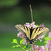 Butterfly and Lilac in the back yard.<br /> <br /> Photographer's Name: Brian Fox<br /> Photographer's City and State: Anderson, IN
