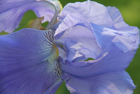 Beautiful Iris with a close in look<br /> <br /> Photographer's Name: Jerry Byard<br /> Photographer's City and State: Anderson, IN