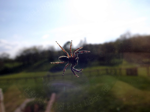 """Spiderman""  shot at my farm window,,,,,,,, Richland Twd.<br /> <br /> Photographer's Name: J.R. Rosencrans<br /> Photographer's City and State: Alexandria, IN"