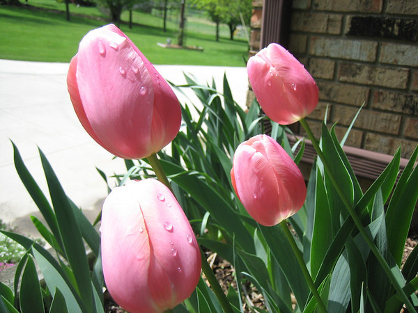 Dew on tulips.<br /> <br /> Photographer's Name: Rex Rice<br /> Photographer's City and State: Middletown, Ind.