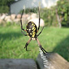 A garden spider.<br /> <br /> Photographer's Name: Rex Rice<br /> Photographer's City and State: Middletown, Ind.