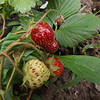 May strawberrys, shot in Richland Township in my strawberry patch.<br /> <br /> Photographer's Name: J.R. Rosencrans<br /> Photographer's City and State: Alexandria, Ind.