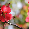 The Quince bush is in full bloom.<br /> <br /> Photographer's Name: Jerry Byard<br /> Photographer's City and State: Anderson, IN