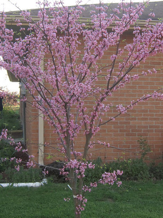 Redbud blooming<br /> <br /> Photographer's Name: Anita Barton<br /> Photographer's City and State: Alexandria, IN