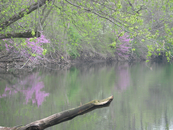 Redbud of White River<br /> <br /> Photographer's Name: Renee Hull-Allen<br /> Photographer's City and State: Anderson, IN