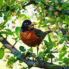 Robin having success with its search for supper.<br /> <br /> Photographer's Name: Sharon Markle<br /> Photographer's City and State: Markleville, Ind.