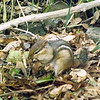 A chipmunk stocking up on maple seeds in Richland Township.<br /> <br /> Photographer's Name: J.R. Rosencrans<br /> Photographer's City and State: Alexandria, Ind.