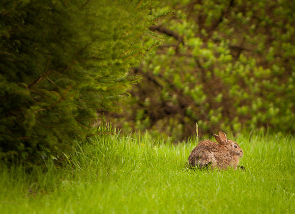 A rabbit in my yard.<br /> <br /> Photographer's Name: Terry Lynn Ayers<br /> Photographer's City and State: Anderson, IN