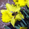 Not as many bees as there used to be, but Art Tate's Daffodils attracted this one.<br /> <br /> Photographer's Name: Art Tate<br /> Photographer's City and State: Anderson, IN
