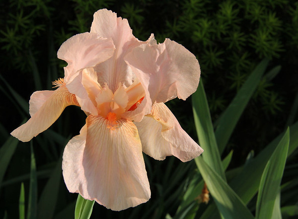 I'm finding delicate beauty every morning with the opening of a different color and variety of the Iris flower.<br /> <br /> Photographer's Name: Jerry Byard<br /> Photographer's City and State: Anderson, IN
