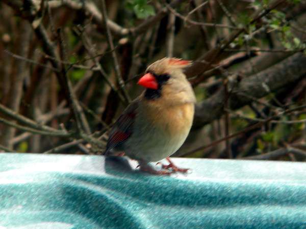 This female cardinal was sitting on the edge of my hot tub showing off her colors.<br /> <br /> Photographer's Name: Rita Drews<br /> Photographer's City and State: Anderson, Ind.