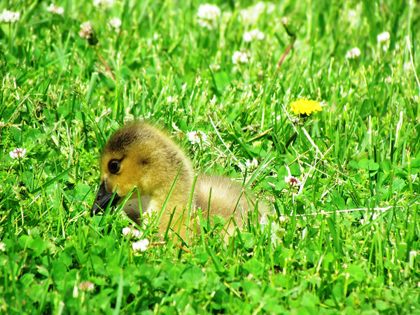 A baby goose hiding in the grass at Falls Park.<br /> <br /> Photographer's Name: Brian Fox<br /> Photographer's City and State: Anderson, Ind.