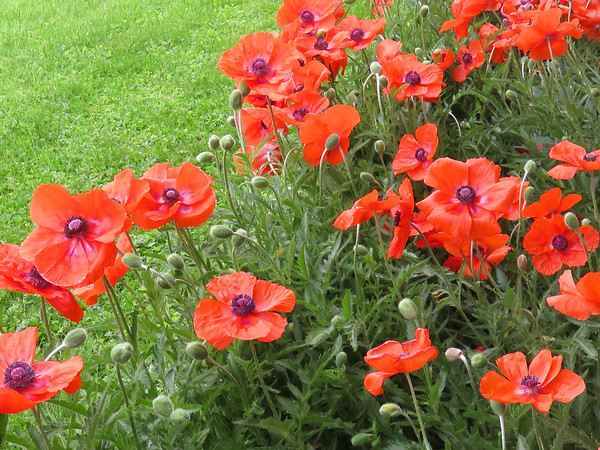 My poppy bed in full bloom.<br /> <br /> Photographer's Name: Jerry Byard<br /> Photographer's City and State: Anderson, Ind.