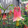 Volunteer columbine, a gift from Mother Nature.<br /> <br /> Photographer's Name: Debra Howell<br /> Photographer's City and State: Pendleton, Ind.