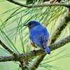 Bluebird season in Madison County.<br /> <br /> Photographer's Name: Sharon Markle<br /> Photographer's City and State: Markleville, IN