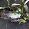 Farm frogs in my pond in Richland Township.<br /> <br /> Photographer's Name: J.R. Rosencrans<br /> Photographer's City and State: Alexandria, Ind.