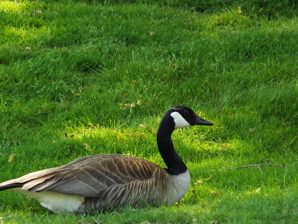 """""""Guard Goose"""" at Morse Reservoir.<br /> <br /> Photographer's Name: J.R. Rosencrans<br /> Photographer's City and State: Alexandria, Ind."""