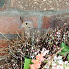 I have a Mourning Dove nesting in an artificial wreath on my front porch.<br /> <br /> Photographer's Name: Marietta Lutz<br /> Photographer's City and State: Anderson, Ind.