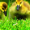 Baby geese in the grass at Falls Park.<br /> <br /> Photographer's Name: Brian Fox<br /> Photographer's City and State: Anderson, Ind.