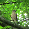 A Cooper's Hawk in my front tree.<br /> <br /> Photographer's Name: Brian Fox<br /> Photographer's City and State: Anderson, Ind.