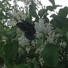 A wonderful Mother's Day surprise. A Swallowtail butterfly on our white lilac tree.<br /> <br /> Photographer's Name: Ann Johnson<br /> Photographer's City and State: Anderson, Ind.