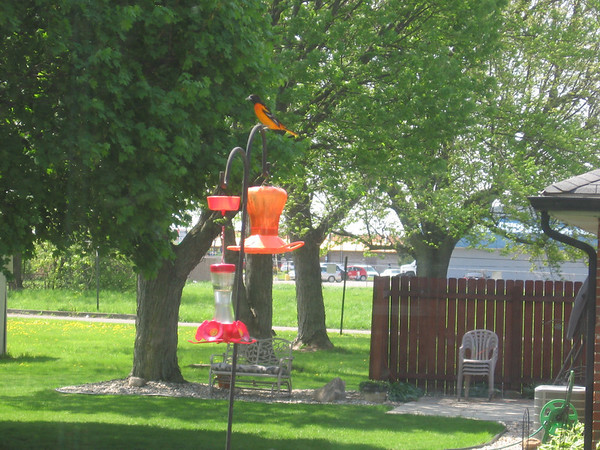 Oriole sighting.<br /> <br /> Photographer's Name: Carol Stanley<br /> Photographer's City and State: Anderson, Ind.