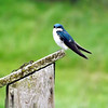Blue birds at my farm in Richland Township.<br /> <br /> Photographer's Name: J.R. Rosencrans<br /> Photographer's City and State: Alexandria, Ind.