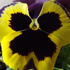 Up close  shot of a pansie.<br /> <br /> Photographer's Name: J.R. Rosencrans<br /> Photographer's City and State: Alexandria, Ind.
