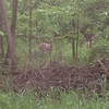 Two deer standing in the woods by Shadyside Lake.<br /> <br /> Photographer's Name: Daniel Phillips<br /> Photographer's City and State: Anderson , Ind.