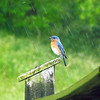 Indiana bluebirds at my farm in Richland Township.<br /> <br /> Photographer's Name: J.R. Rosencrans<br /> Photographer's City and State: Alexandria, Ind.