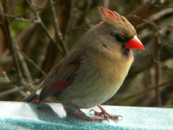 This beautiful female cardnial was sitting on the edge of my hot tub, showing her colors.<br /> <br /> Photographer's Name: Rita Drews<br /> Photographer's City and State: Anderson, Ind.