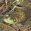 """Bill the Bullfrog,"" taken at my farm pond in Richland Township.<br /> <br /> Photographer's Name: J.R. Rosencrans<br /> Photographer's City and State: Alexandria, Ind."