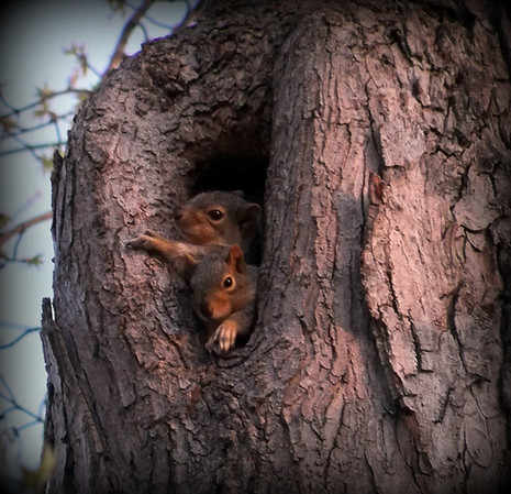 Baby squirrels nesting in our maple tree.<br /> <br /> Photographer's Name: Debra Howell<br /> Photographer's City and State: Pendleton, Ind.