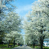 Nichol Avenue in bloom.<br /> <br /> Photographer's Name: Terry Lynn Ayers<br /> Photographer's City and State: Anderson, Ind.