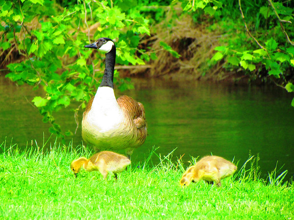 Momma and her babies at Falls Park.<br /> <br /> Photographer's Name: Brian Fox<br /> Photographer's City and State: Anderson, Ind.
