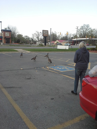 Geese visiting Walgreens...and mom feeding them.<br /> <br /> Photographer's Name: Sheelah Schmidt<br /> Photographer's City and State: Anderson, Ind.