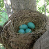 Spring time robin eggs at my farm in Richland Township.<br /> <br /> Photographer's Name: J.R. Rosencrans<br /> Photographer's City and State: Alexandria, Ind.