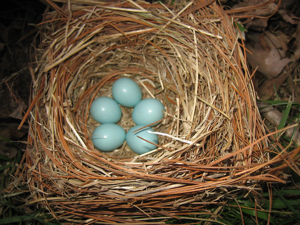 An abandoned bluebird nest.<br /> <br /> Photographer's Name: Rex Rice<br /> Photographer's City and State: Middletown, Ind.