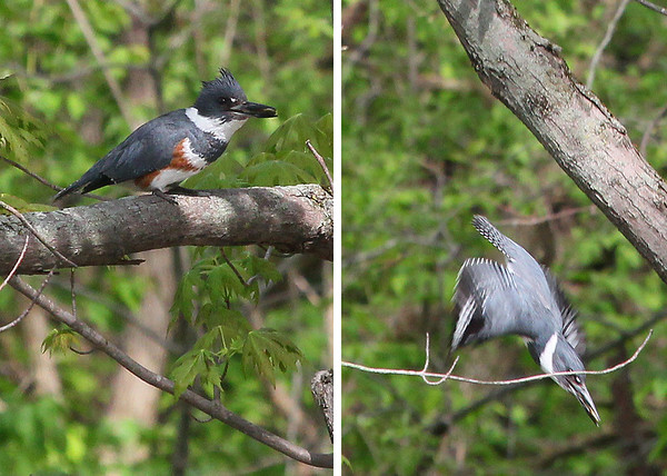 Waiting for the kingfisher to dive for a fish at Mounds State Park, and then captured him in flight.<br /> <br /> Photographer's Name: Jerry Byard<br /> Photographer's City and State: Anderson, Ind.