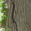 While hiking Trail 5 in Mounds Park I came across a pretty good tree climber in the form of a large snake about seven feet long.<br /> <br /> Photographer's Name: Jerry Byard<br /> Photographer's City and State: Anderson, Ind.