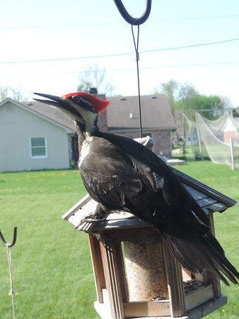 A pileated woodpecker on our bird feeder.<br /> <br /> Photographer's Name: Terri Graham<br /> Photographer's City and State: Anderson, Ind.