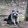 A raccoon at Turkey Run State Park.<br /> <br /> Photographer's Name: Morgan Elbert<br /> Photographer's City and State: Alexandria, Ind.