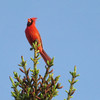 The Cardinal was singing at the top of his lungs from the highest point in the tree he could land on a beautiful warm evening.<br /> <br /> Photographer's Name: Jerry Byard<br /> Photographer's City and State: Anderson, Ind.