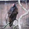 A turkey vulture on its roost.<br /> <br /> Photographer's Name: Brian Fox<br /> Photographer's City and State: Anderson, Ind.
