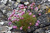 Thrift on the rocks at Achmelvich on Monday 16th May 2016