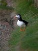 Puffin at the Bullers of Buchan