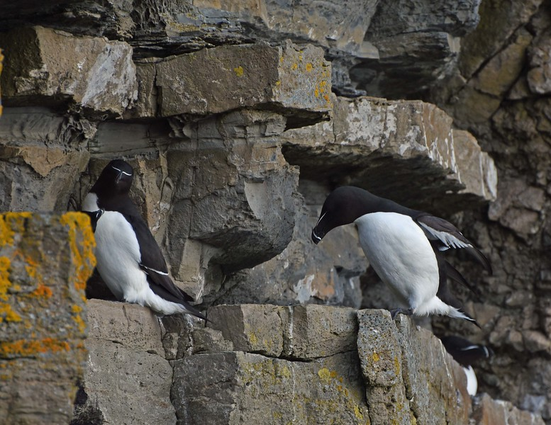 Razorbills on the cliffs at Whaligoe - 15th May 2016