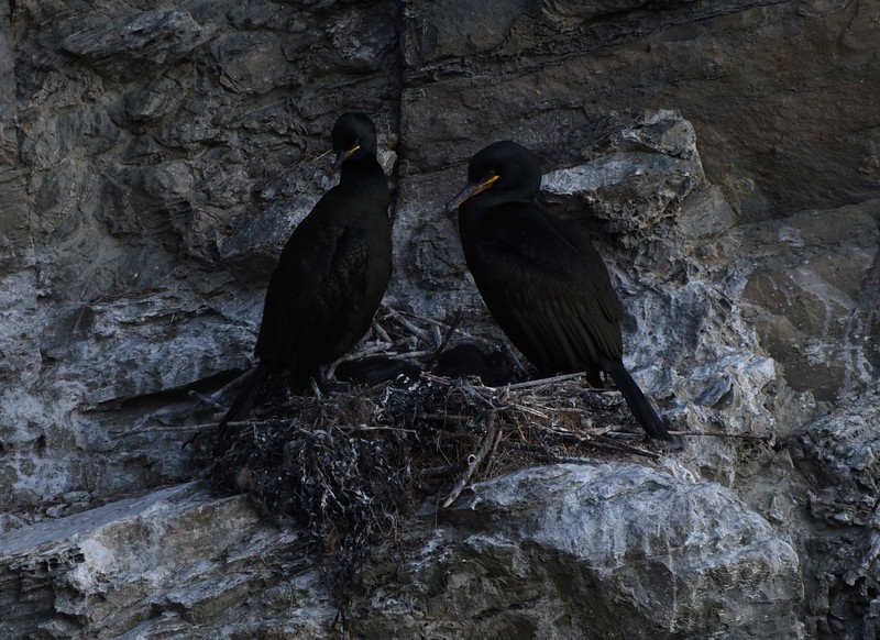 Shags on the cliffs at Whaligoe - 15th May 2016