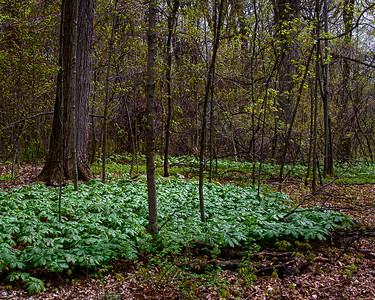 Mandrake Glade